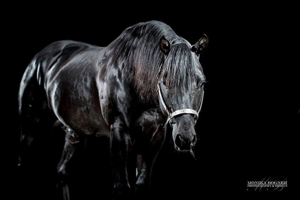 Quarter Horse Hengst - Dun It Black Edition