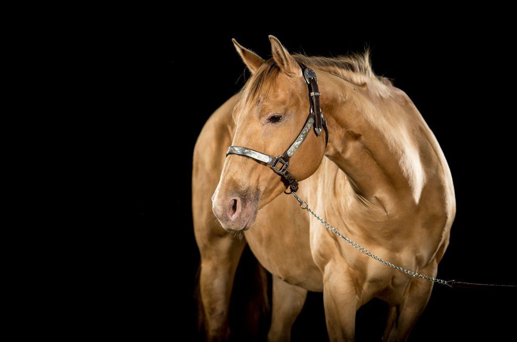 Quarter Horse Stute - JodiesBailee