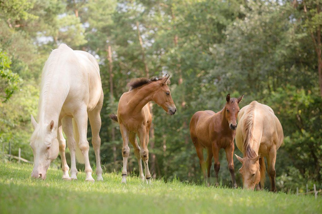 Quarterhorse-Stuten-und-Fohlen