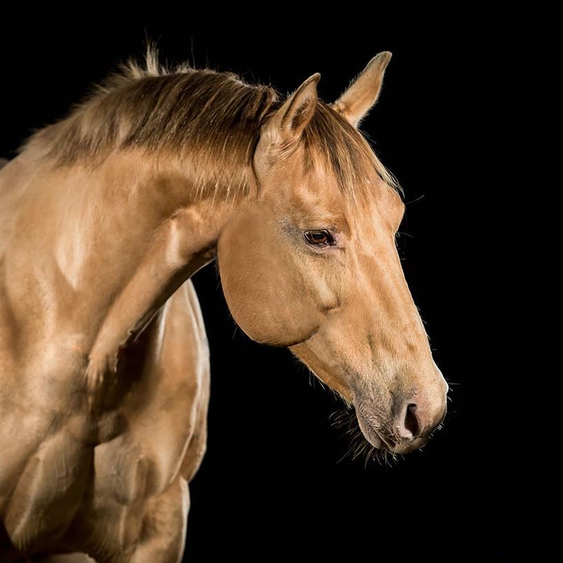 Quarter Horse Stute – Jodies Bailee