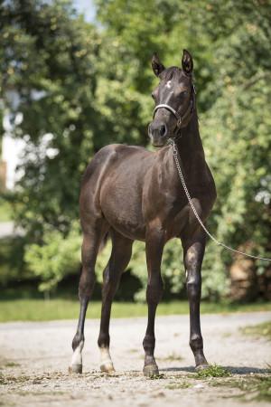 Quarter Horse Fohlen – DunItBlackRisin