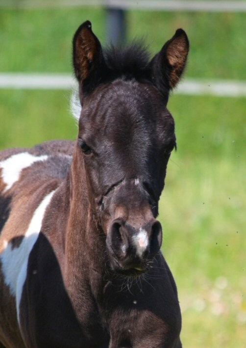 Paint Horse Fohlen – DunItSilhouette