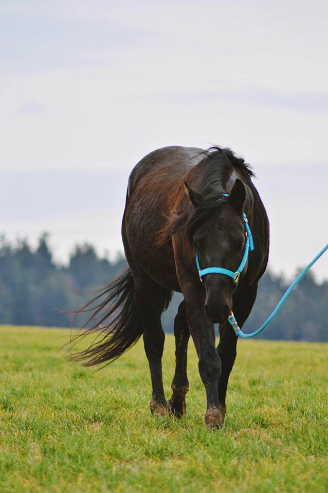 Quarter Horse Hengst - Dun It Black Edition