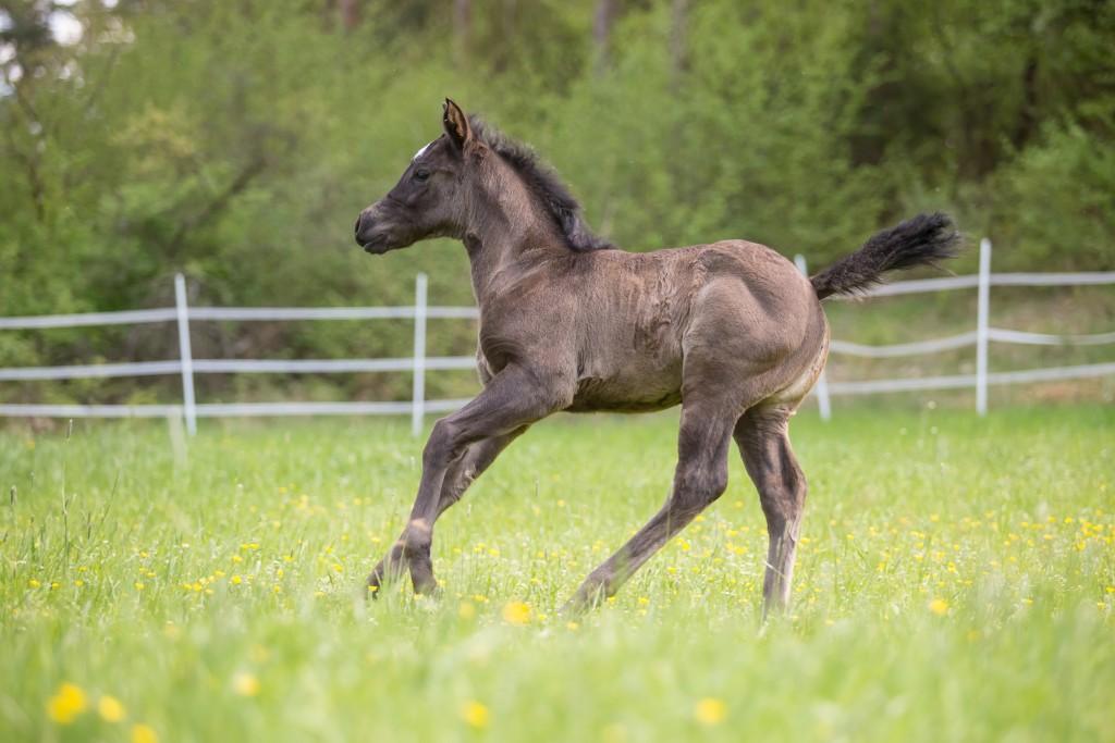 Quarter Horse Fohlen - PeppyLittly BlueStar