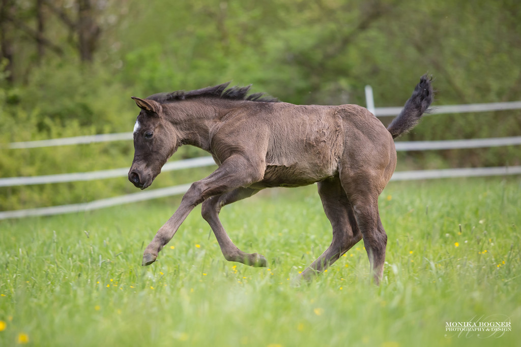 Quarter Horse Stute Fohlen - PeppyLittleBlueStar - 2016