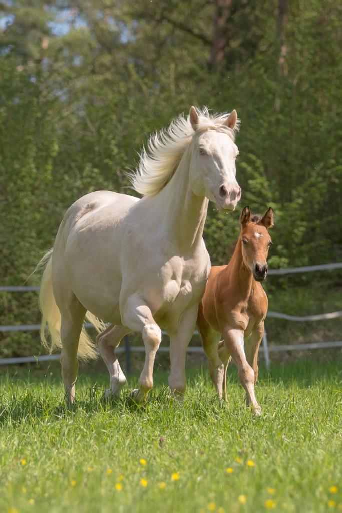 Quarter Horse Stute - TouchedbyDestiny