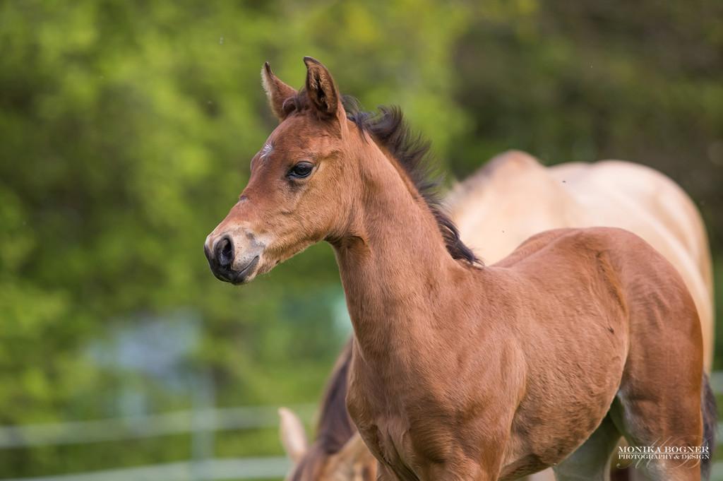 Quarter Horse Stute Fohlen - PippaHighfive - 2016