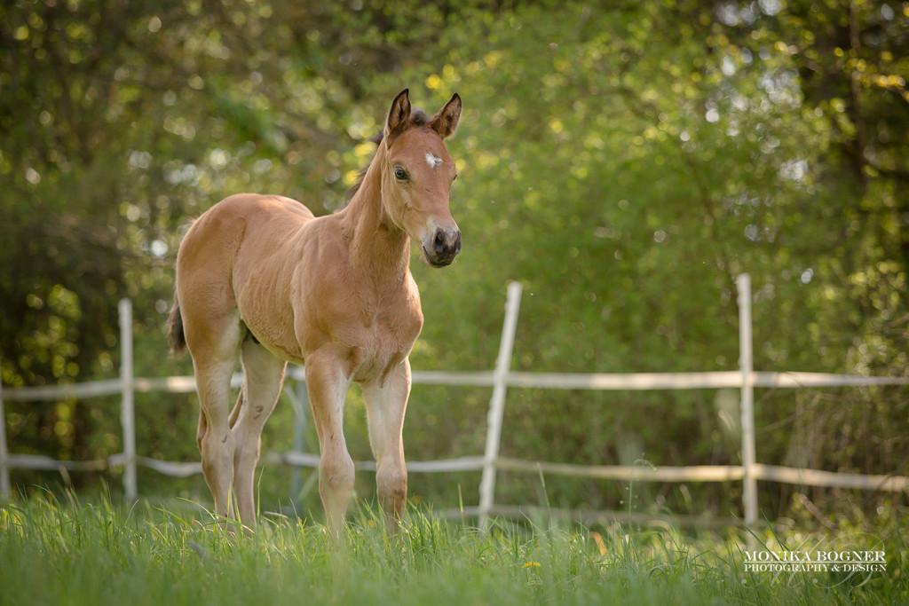 Quarter Horse Hengst Fohlen - DunItHighfive - 2016