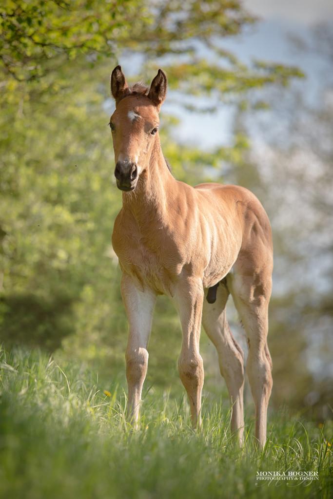 Quarter Horse Hengst Fohlen - DunItHighfive