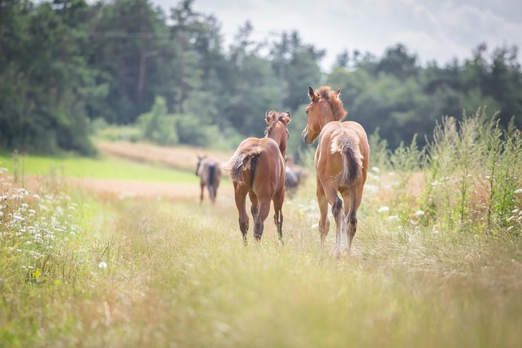 Quarter Horse Stute Fohlen - PippaHighfive - 2016 + Quarter Horse Hengst Fohlen - DunItHighfive - 2016