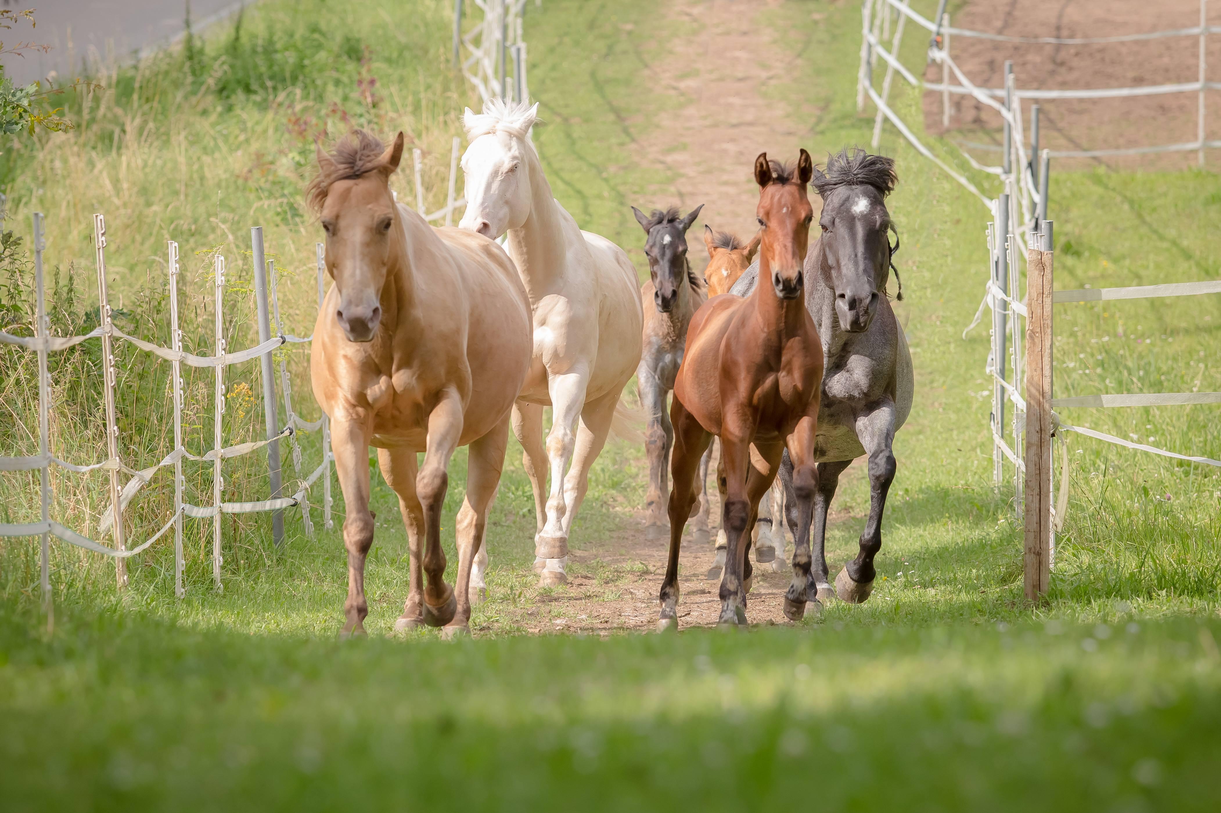 Quarter Horse Stuten + Quarter Horse Fohlen