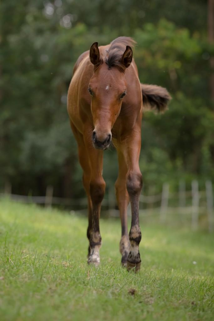 Quarter Horse Fohlen - Pippa Highfive