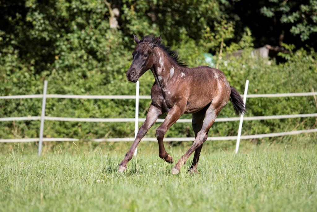 Quarter Horse Fohlen - TomTomBlue