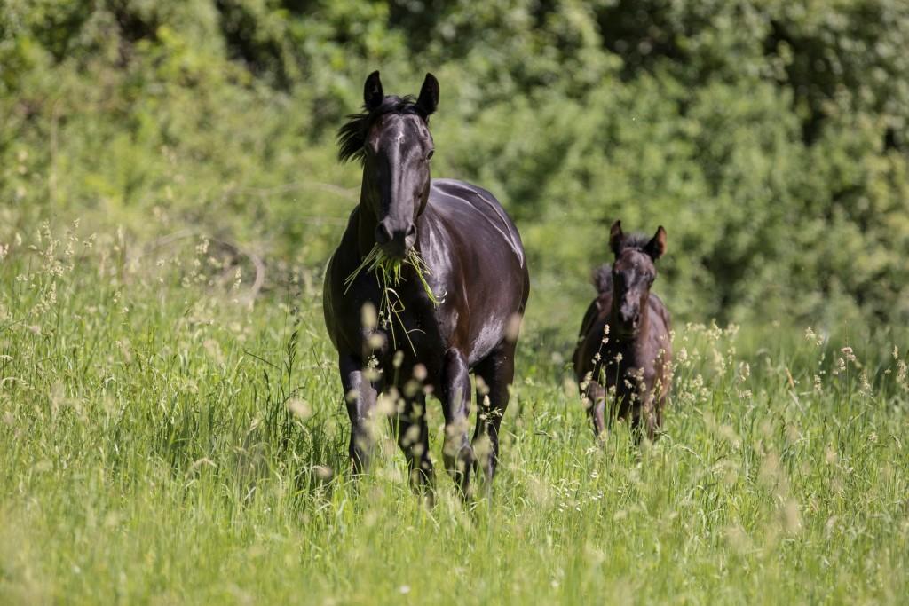 Quarter Horse Stute - BBuddyOnTheRockz