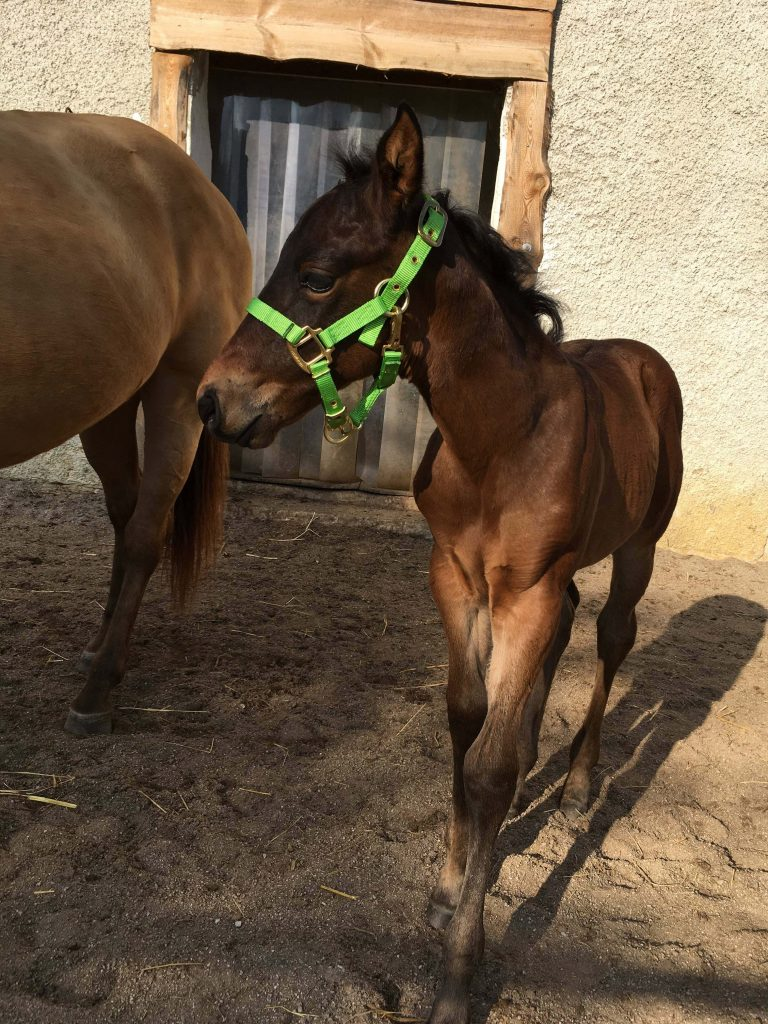 Quarter Horse Stute Fohlen – ChocoDreamEdition – 2017
