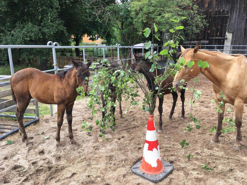 Quarter Horse Stute – Jodies Bailee + Quarter Horse Stute Fohlen – ChocoDreamEdition – 2017