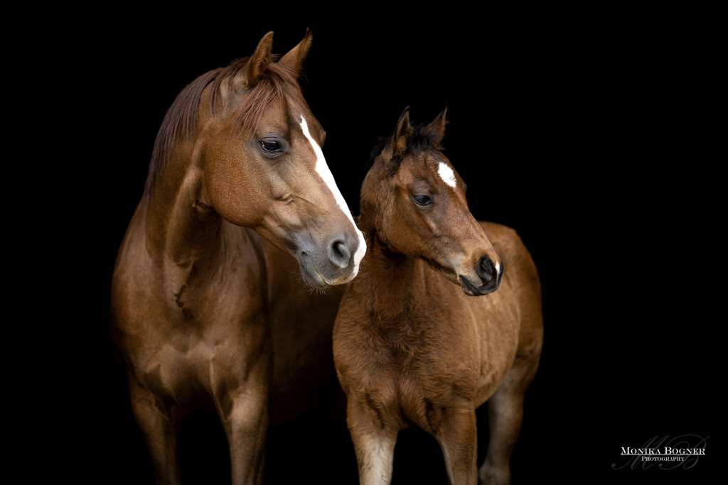Quarterhorse Stute - IM Miss Hollywood - Quarterhorse Fohlen - Reckless Edition