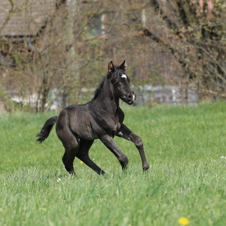 TDKingwimpsJaliaXDunItBlackEdition_Quarterhorse_Hengstfohlen