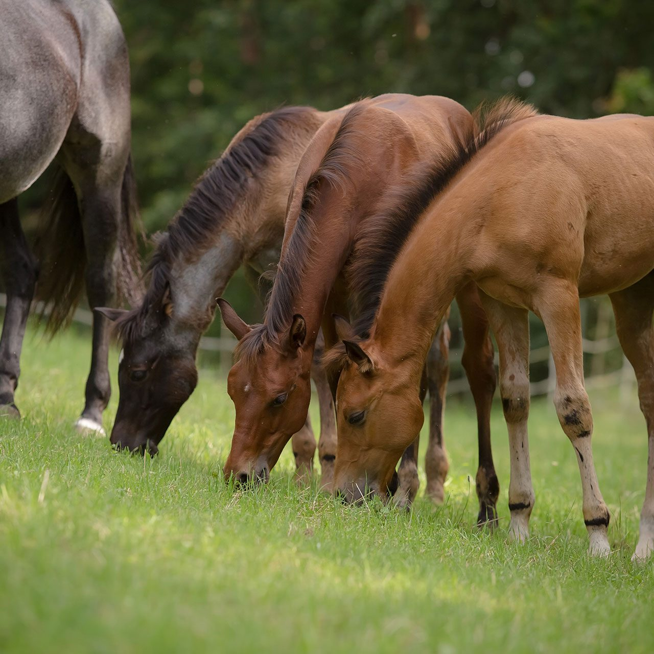 Quarter Horse Hengst Fohlen – DunItHighfive Quarter Horse Stute Fohlen – PippaHighfive Quarter Horse Stute Fohlen – PeppyLittleBlueStar