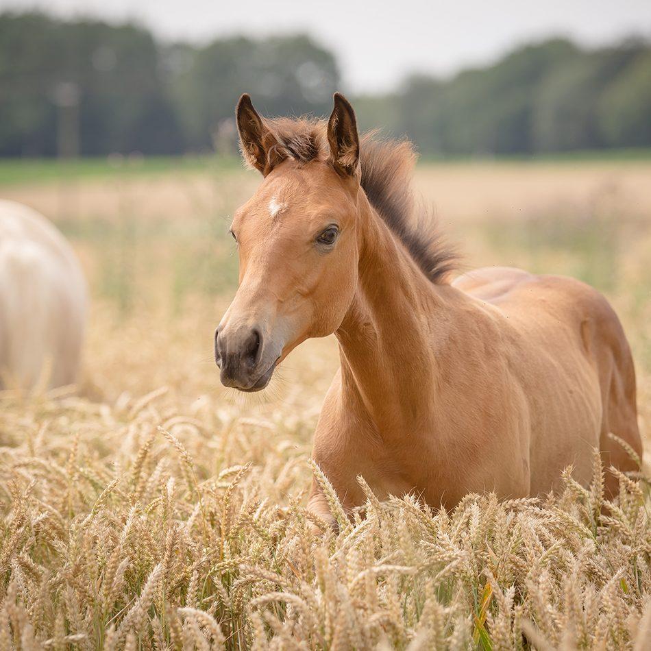 Quarter Horse Fohlen – Dun It Highfive