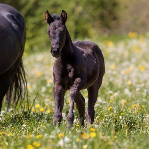 Quarter Horse Fohlen 2017 - TheNightEdition – Winnie
